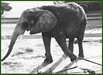 circus_elephant_pulling