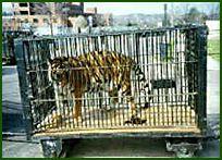 circus_tiger